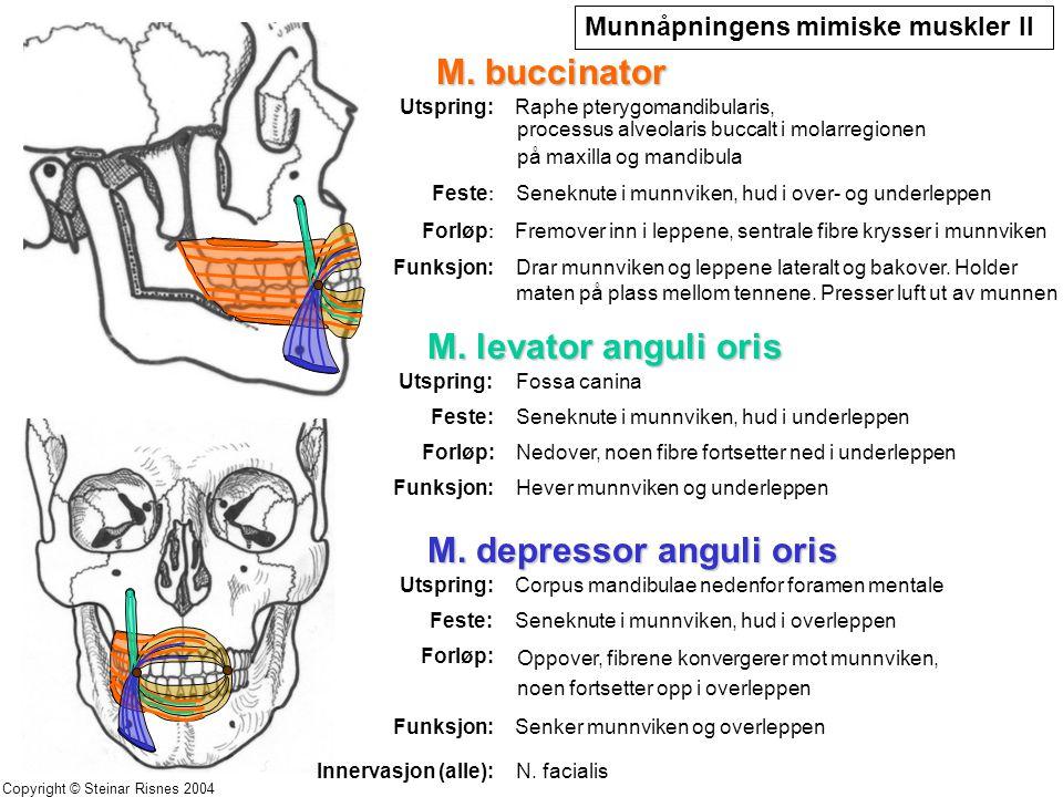 M. buccinator Utspring: Feste : Seneknute i munnviken, hud i over- og underleppen Forløp : Fremover inn i leppene, sentrale fibre krysser i munnviken