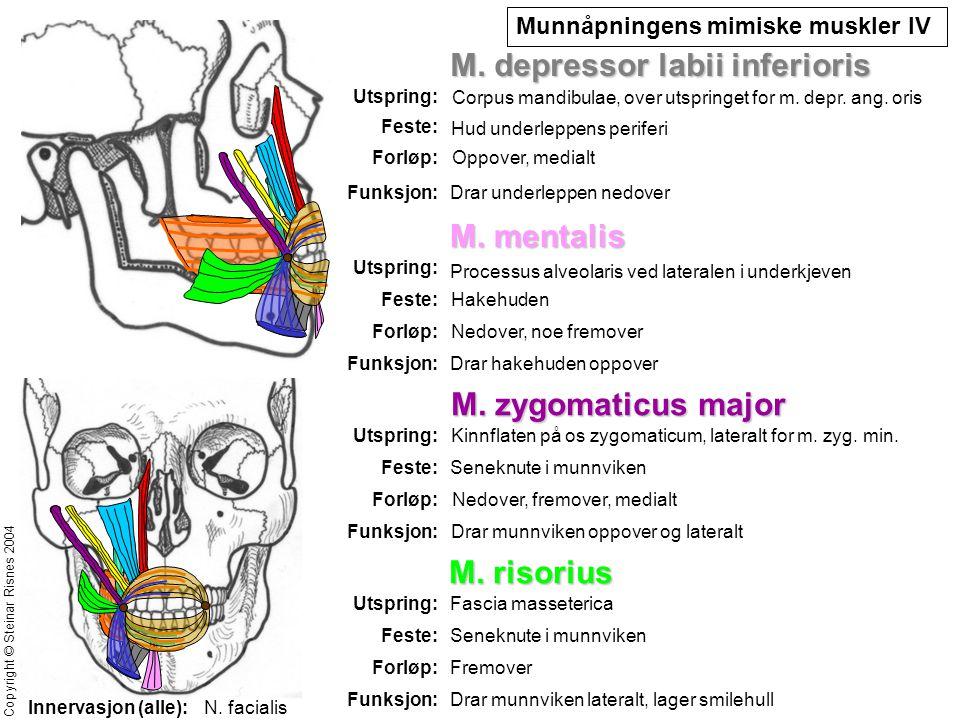 Munnåpningens mimiske muskler IV M. depressor labii inferioris Utspring: Feste: Forløp: Funksjon: Corpus mandibulae, over utspringet for m. depr. ang.