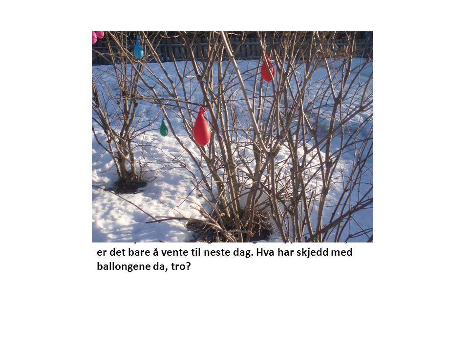 Barna synes vi kan henge ballongene opp i buskene, så er det bare å vente til neste dag.