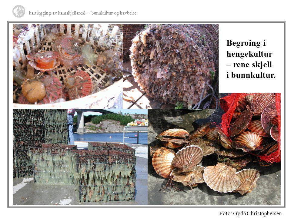 kartlegging av kamskjellareal – bunnkultur og havbeite Begroing i hengekultur – rene skjell i bunnkultur. Foto: Gyda Christophersen