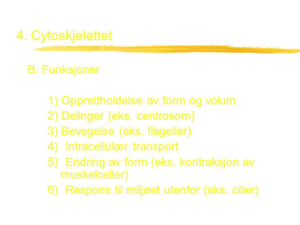 4. Cytoskjelettet B. Funksjoner 1) Opprettholdelse av form og volum 2) Delinger (eks. centrosom) 3) Bevegelse (eks. flageller) 4) Intracellulær transp