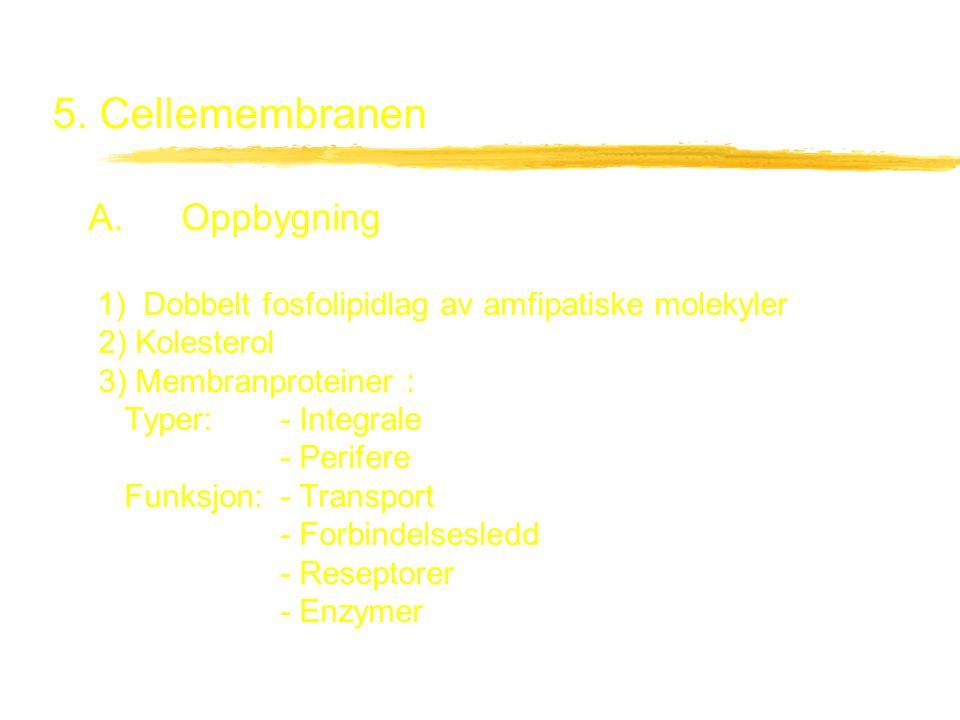 5. Cellemembranen A. Oppbygning 1) Dobbelt fosfolipidlag av amfipatiske molekyler 2) Kolesterol 3) Membranproteiner : Typer: - Integrale - Perifere Fu