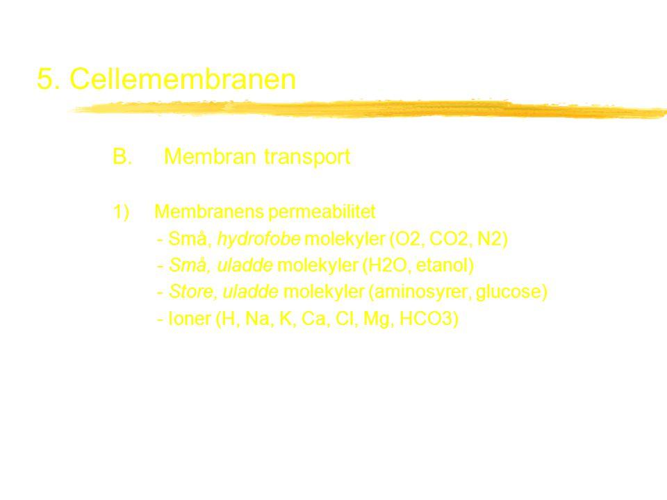 5. Cellemembranen B. Membran transport 1) Membranens permeabilitet - Små, hydrofobe molekyler (O2, CO2, N2) - Små, uladde molekyler (H2O, etanol) - St