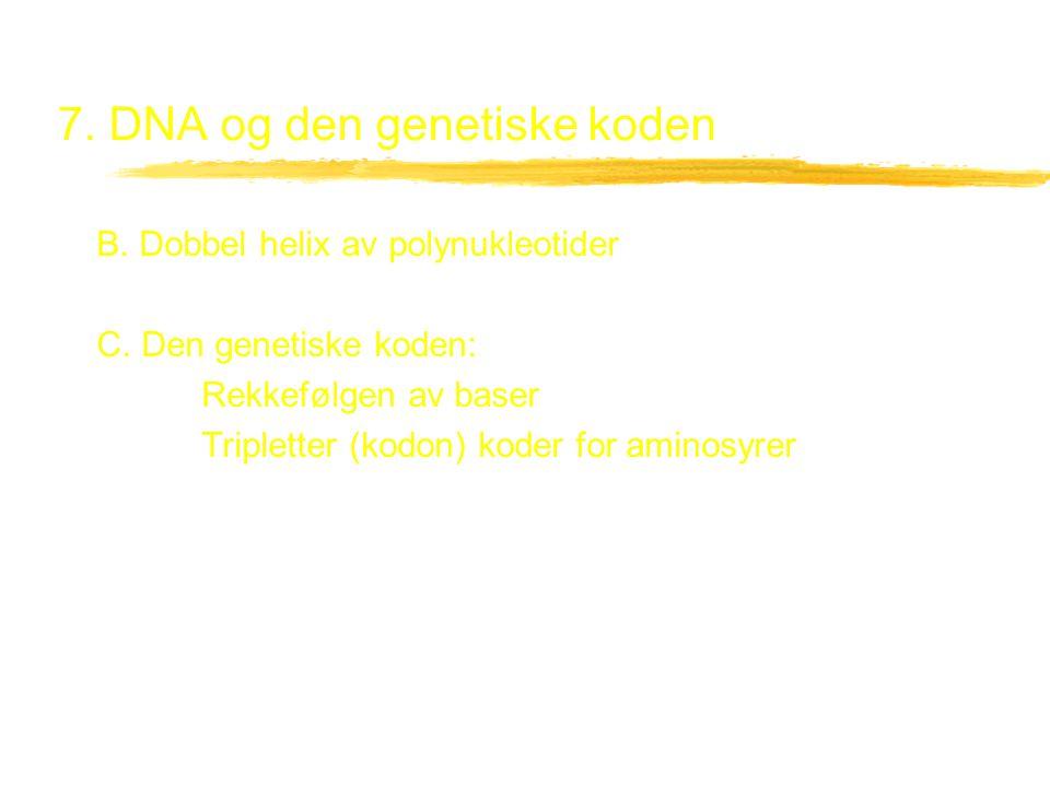 7. DNA og den genetiske koden B. Dobbel helix av polynukleotider C. Den genetiske koden: Rekkefølgen av baser Tripletter (kodon) koder for aminosyrer