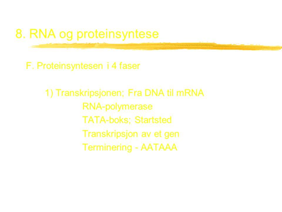 8. RNA og proteinsyntese F. Proteinsyntesen i 4 faser 1) Transkripsjonen; Fra DNA til mRNA RNA-polymerase TATA-boks; Startsted Transkripsjon av et gen
