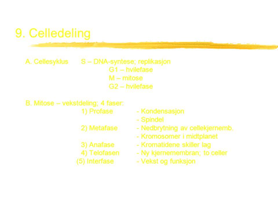 9. Celledeling A. CellesyklusS – DNA-syntese; replikasjon G1 – hvilefase M – mitose G2 – hvilefase B. Mitose – vekstdeling; 4 faser: 1) Profase- Konde