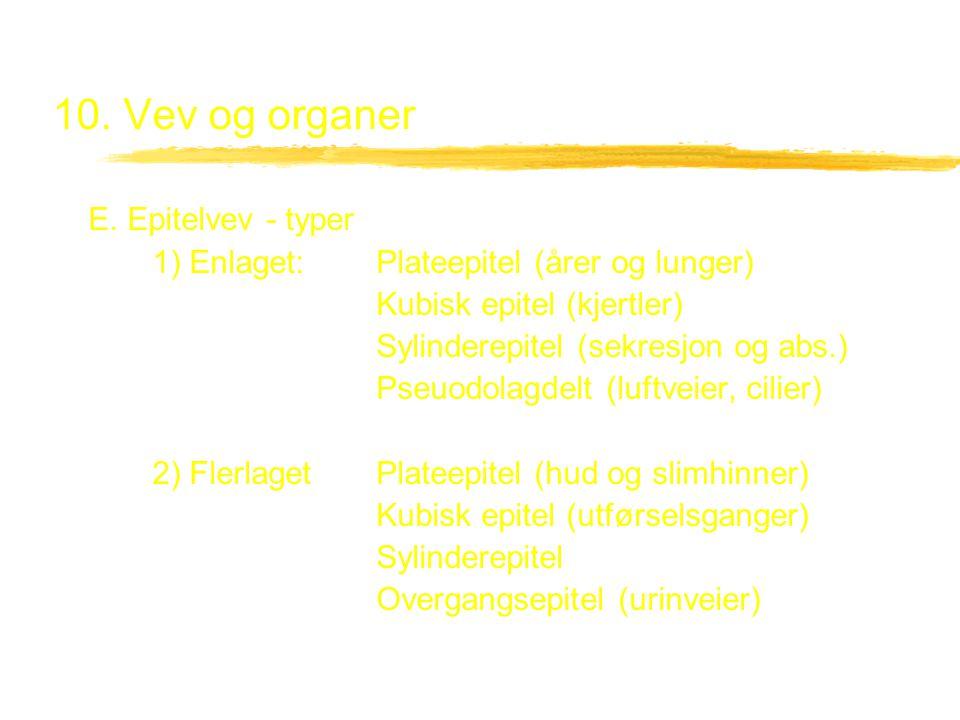 10. Vev og organer E. Epitelvev - typer 1) Enlaget:Plateepitel (årer og lunger) Kubisk epitel (kjertler) Sylinderepitel (sekresjon og abs.) Pseuodolag