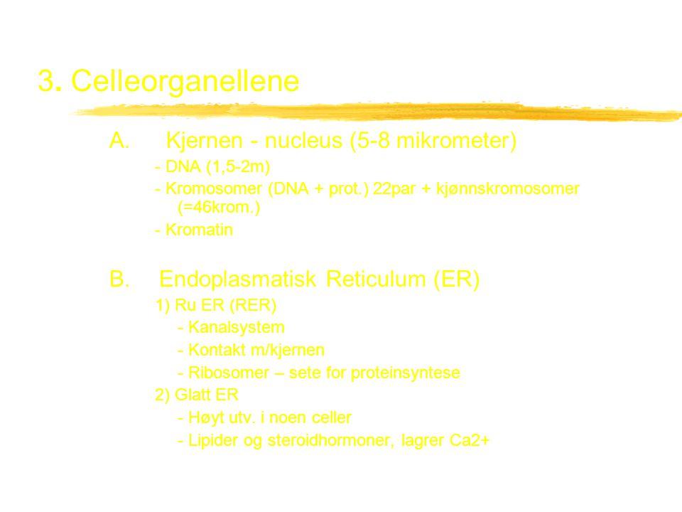 3.Celleorganellene C. Frie ribosomer - proteinsyntese D.