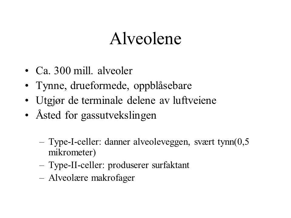 Alveolene Ca. 300 mill. alveoler Tynne, drueformede, oppblåsebare Utgjør de terminale delene av luftveiene Åsted for gassutvekslingen –Type-I-celler: