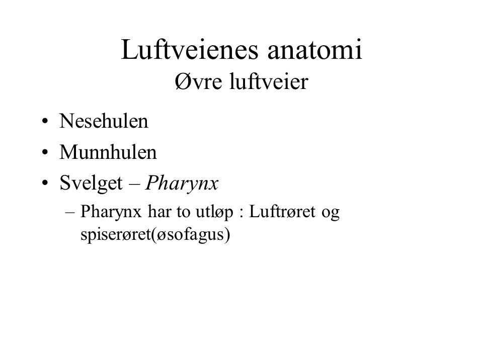 Luftveienes anatomi Øvre luftveier Nesehulen Munnhulen Svelget – Pharynx –Pharynx har to utløp : Luftrøret og spiserøret(øsofagus)