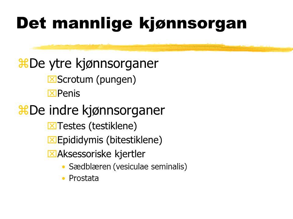 Det mannlige kjønnsorgan zDe ytre kjønnsorganer xScrotum (pungen) xPenis zDe indre kjønnsorganer xTestes (testiklene) xEpididymis (bitestiklene) xAkse