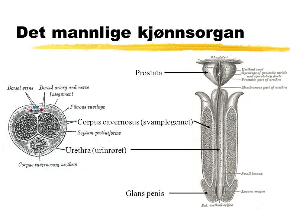 Det mannlige kjønnsorgan Corpus cavernosus (svamplegemet) Urethra (urinrøret) Prostata Glans penis