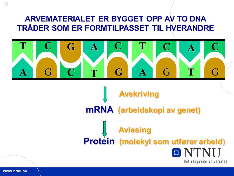 15TATACTG C T GGACCG A C G ARVEMATERIALET ER BYGGET OPP AV TO DNA TRÅDER SOM ER FORMTILPASSET TIL HVERANDRE Avskriving Avskriving mRNA (arbeidskopi av