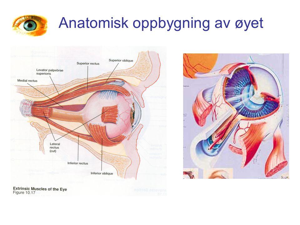 Anatomisk oppbygning av øyet