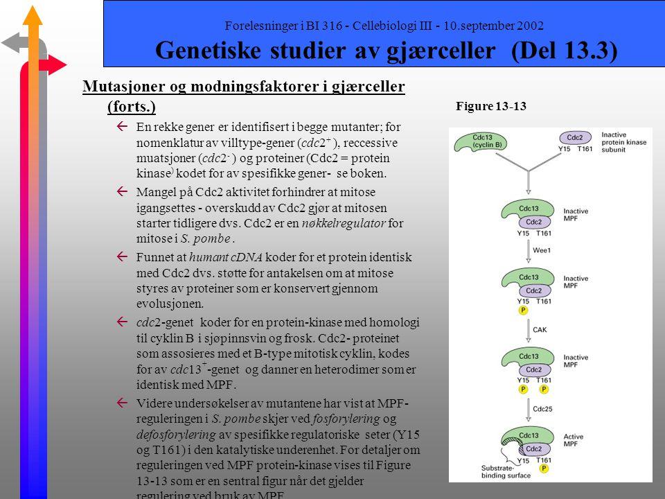 Forelesninger i BI 316 - Cellebiologi III - 10.september 2002 Genetiske studier av gjærceller (Del 13.3) Mutasjoner og modningsfaktorer i gjærceller ß