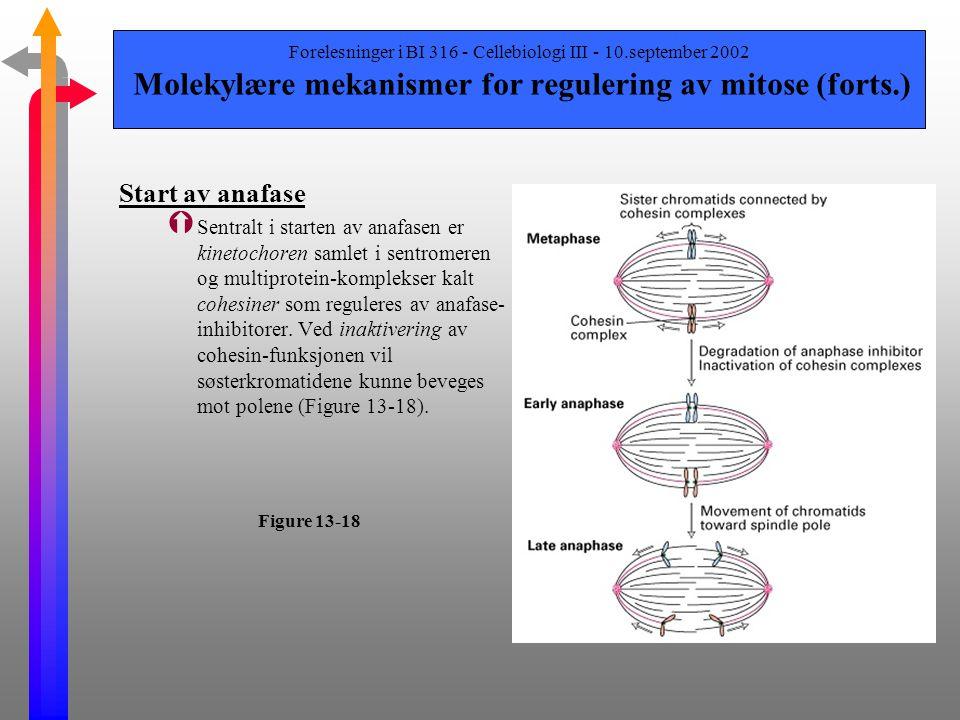 Forelesninger i BI 316 - Cellebiologi III - 10.september 2002 Molekylære mekanismer for regulering av mitose (forts.) Start av anafase Ý Gjennom anafa