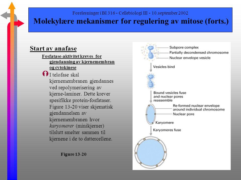 Forelesninger i BI 316 - Cellebiologi III - 10.september 2002 Molekylære mekanismer for regulering av mitose (forts.) Start av anafase Ý Den kompliser