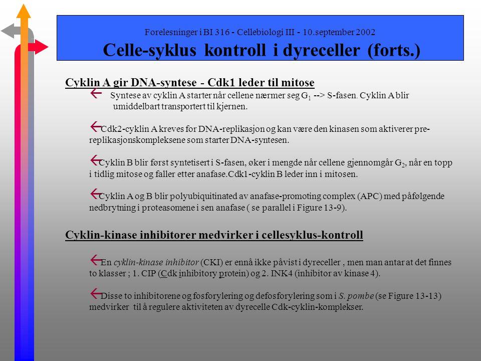 Forelesninger i BI 316 - Cellebiologi III - 10.september 2002 Celle-syklus kontroll i dyreceller (forts.) Passasje gjennom restriksjonspunkter ß Passa