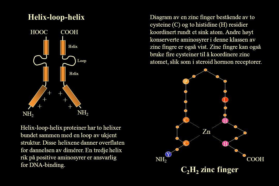 Helix-loop-helix + + + NH 2 HOOC + + + NH 2 COOH Helix Loop Helix-loop-helix proteiner har to helixer bundet sammen med en loop av ukjent struktur.