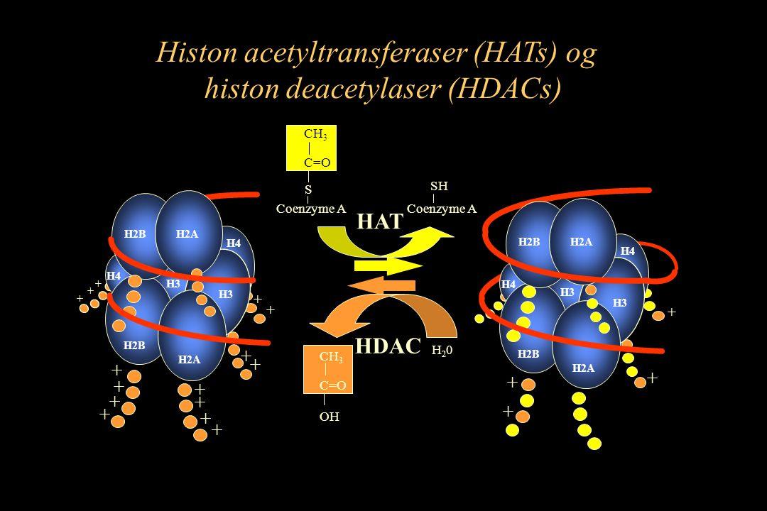 Histon acetyltransferaser (HATs) og histon deacetylaser (HDACs) HAT HDAC H2B H2A H3 H4 H2AH2B H4 H3 + + + H2B H2A H3 H4 H2AH2B H4 H3 + + + + + + + + + + + + + + + + H20H20 CH 3 C=O OH S CH 3 C=O Coenzyme A SH