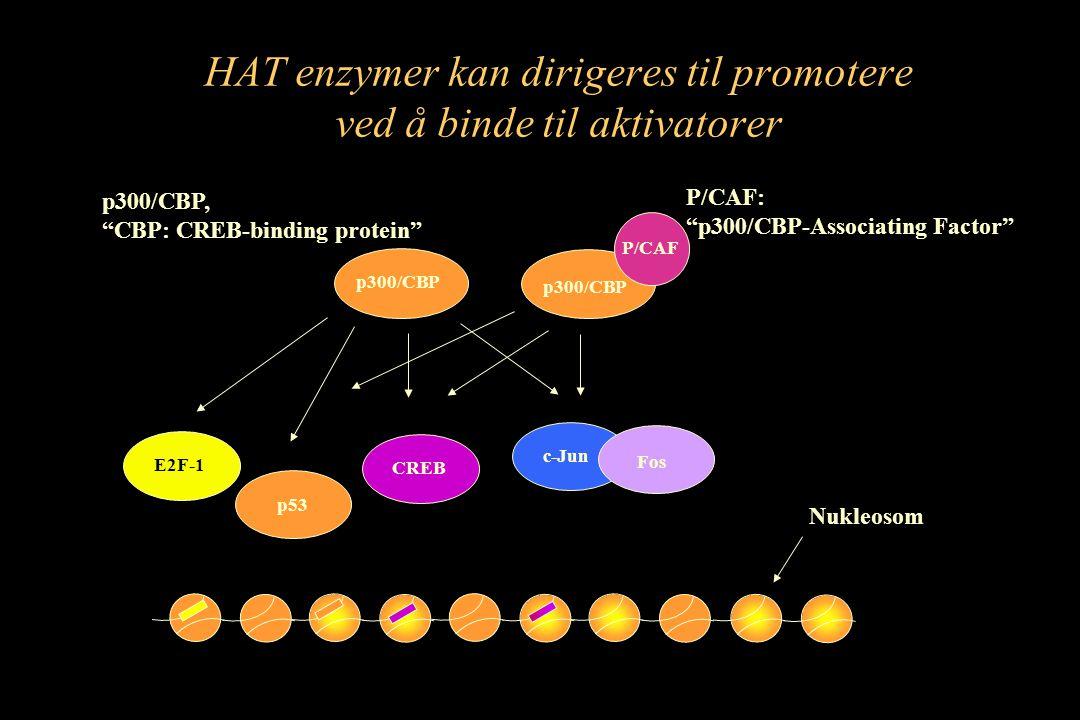 """HAT enzymer kan dirigeres til promotere ved å binde til aktivatorer CREB c-Jun Fos P/CAF p300/CBP P/CAF: """"p300/CBP-Associating Factor"""" p300/CBP, """"CBP:"""