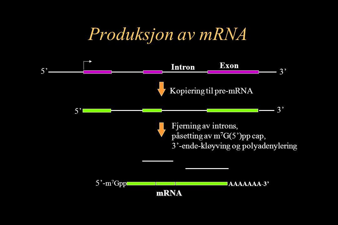 5' 3' 5' 3' Kopiering til pre-mRNA AAAAAAA-3' Fjerning av introns, påsetting av m 7 G(5')pp cap, 3'-ende-kløyving og polyadenylering 5'- m 7 Gpp mRNA Exon Intron Produksjon av mRNA