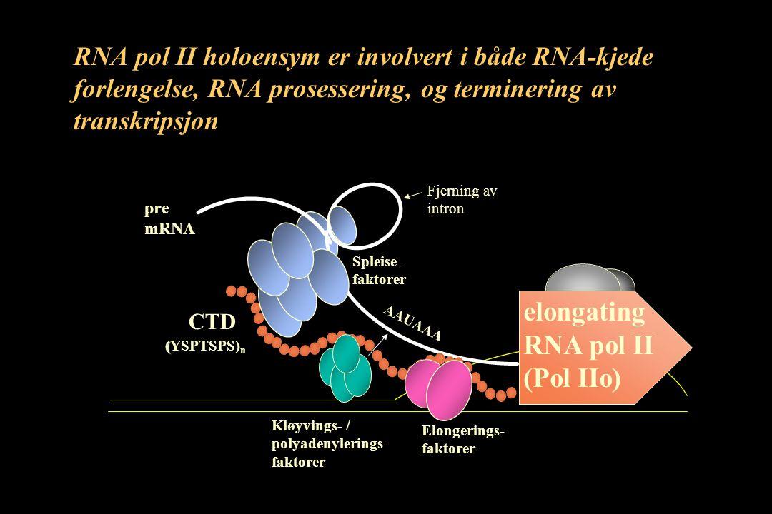 elongating RNA pol II (Pol IIo) pre mRNA AAUAAA Kløyvings- / polyadenylerings- faktorer Elongerings- faktorer Spleise- faktorer CTD ( (YSPTSPS) n RNA pol II holoensym er involvert i både RNA-kjede forlengelse, RNA prosessering, og terminering av transkripsjon Fjerning av intron