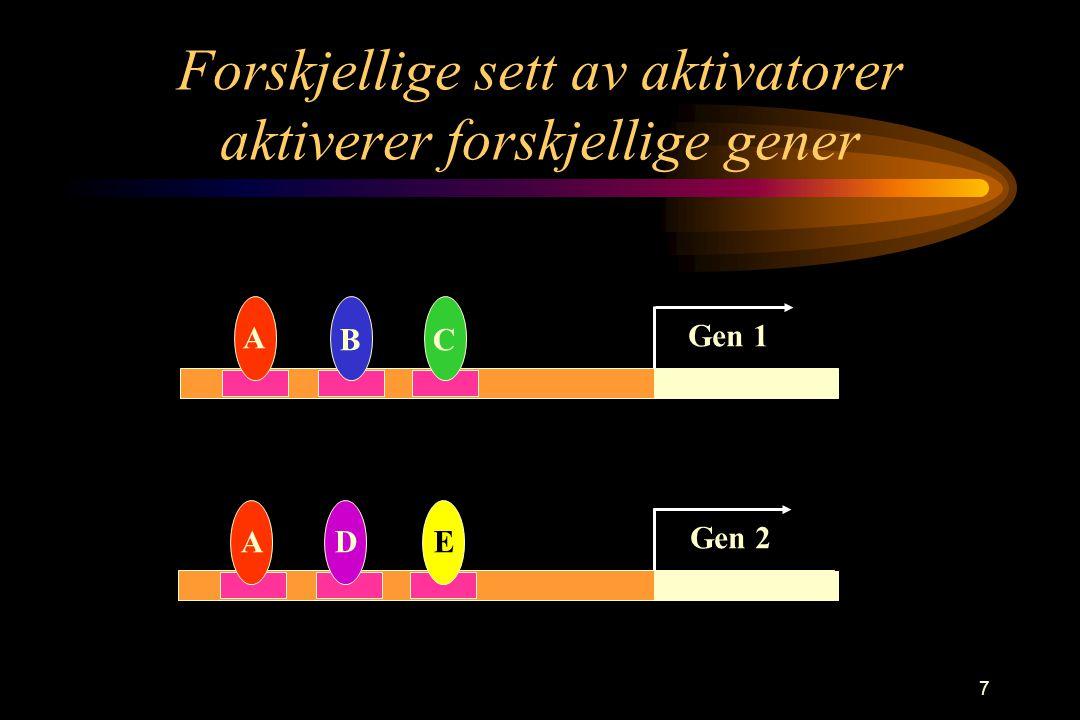 7 Forskjellige sett av aktivatorer aktiverer forskjellige gener A BC ADE Gen 1 Gen 2