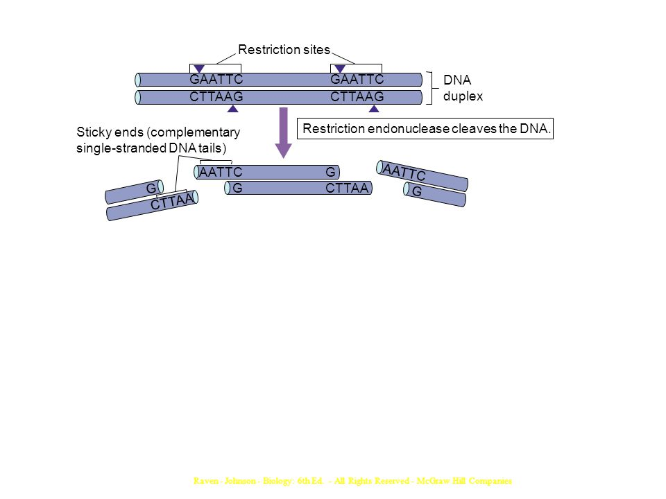 Raven - Johnson - Biology: 6th Ed. - All Rights Reserved - McGraw Hill Companies Restriction endonuclease cleaves the DNA. Sticky ends (complementary
