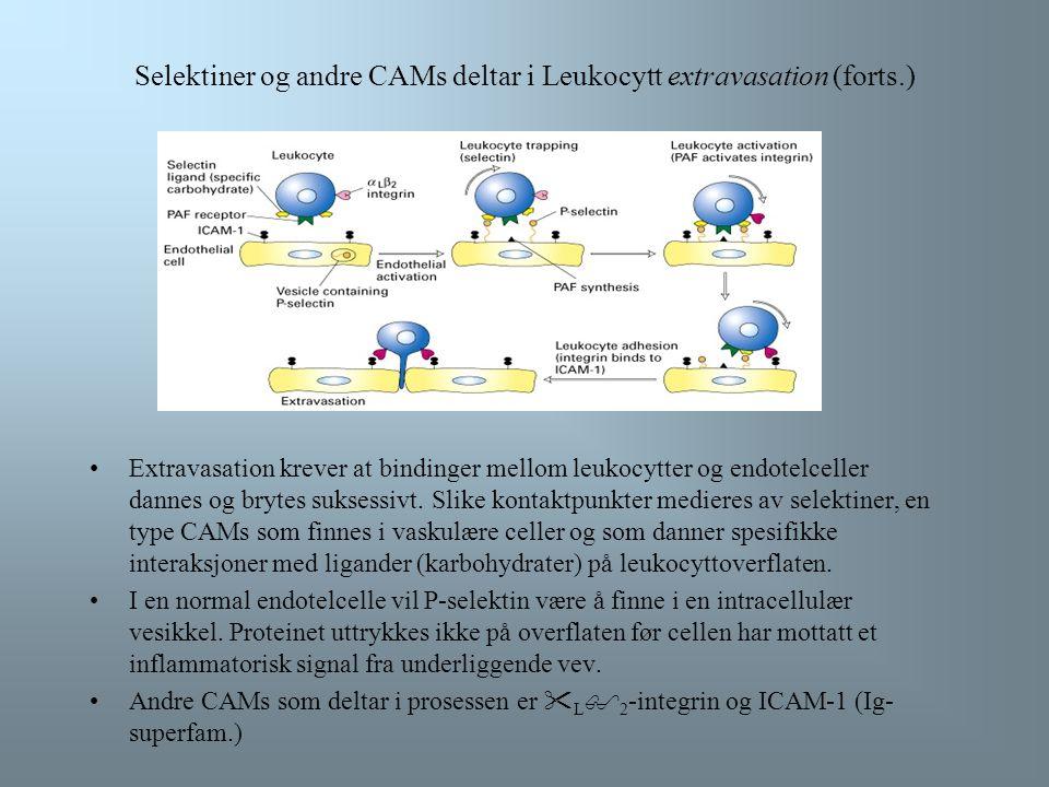 Selectiner og andre CAMs deltar i leukocytt extravasation Det finnes mange typer celler som deltar i immunforsvaret. Disse må kunne bevege seg raskt f