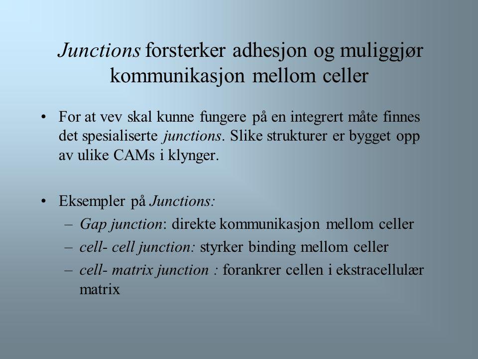 Selektiner og andre CAMs deltar i Leukocytt extravasation (forts.) Extravasation krever at bindinger mellom leukocytter og endotelceller dannes og bry