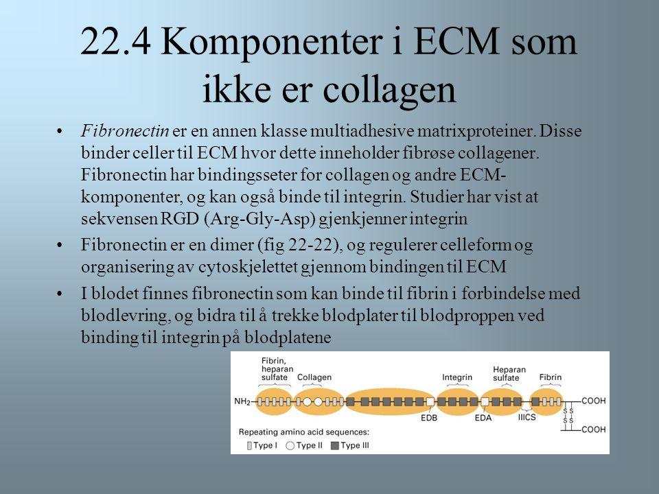 22.4 Komponenter i ECM som ikke er collagen I tillegg til uløselige collagenfibre, inneholder ECM multiadhesive matrixproteiner og proteoglycaner  MU