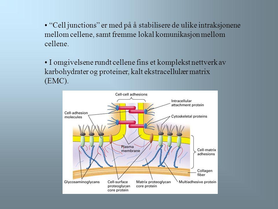 Connexin danner de sylindriske kanalene i gap junctions Kanalene i gap junctions er bygget opp av transmembranproteiner kalt connexin.