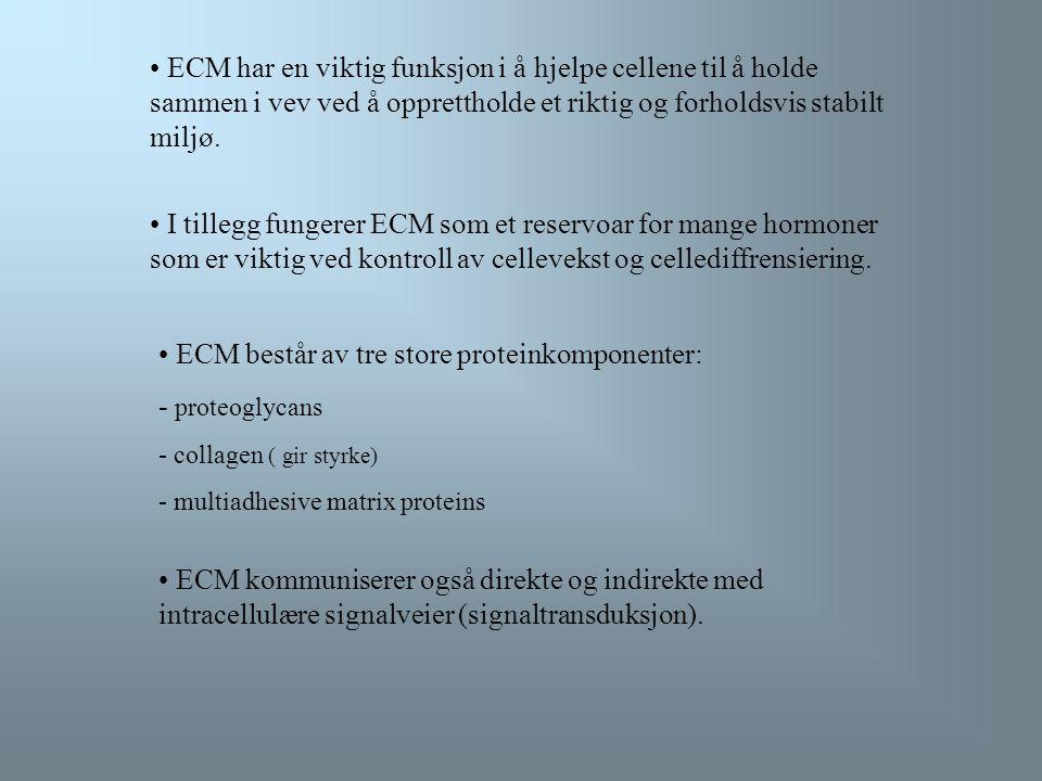 ECM har en viktig funksjon i å hjelpe cellene til å holde sammen i vev ved å opprettholde et riktig og forholdsvis stabilt miljø.