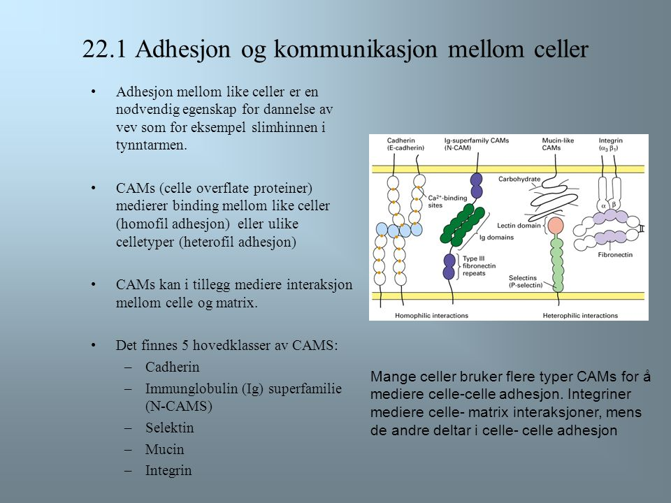 ECM har en viktig funksjon i å hjelpe cellene til å holde sammen i vev ved å opprettholde et riktig og forholdsvis stabilt miljø. I tillegg fungerer E