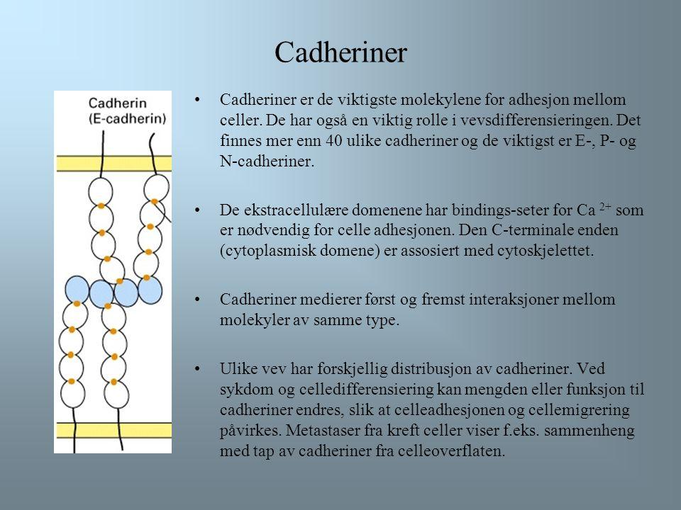 Cadheriner Cadheriner er de viktigste molekylene for adhesjon mellom celler.