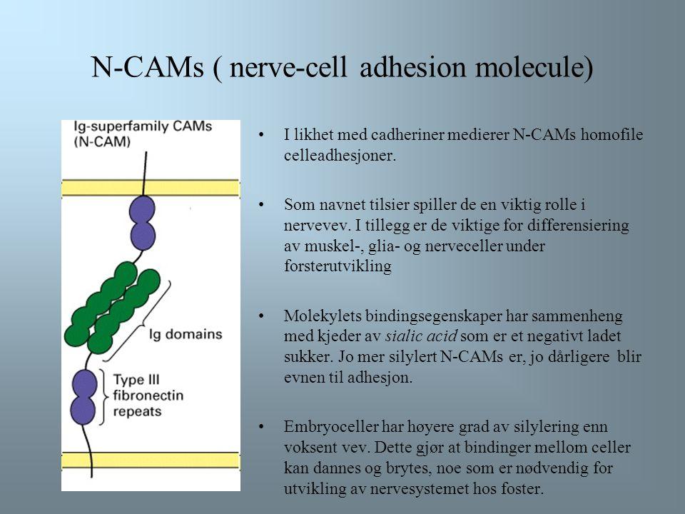 N-CAMs ( nerve-cell adhesion molecule) I likhet med cadheriner medierer N-CAMs homofile celleadhesjoner.