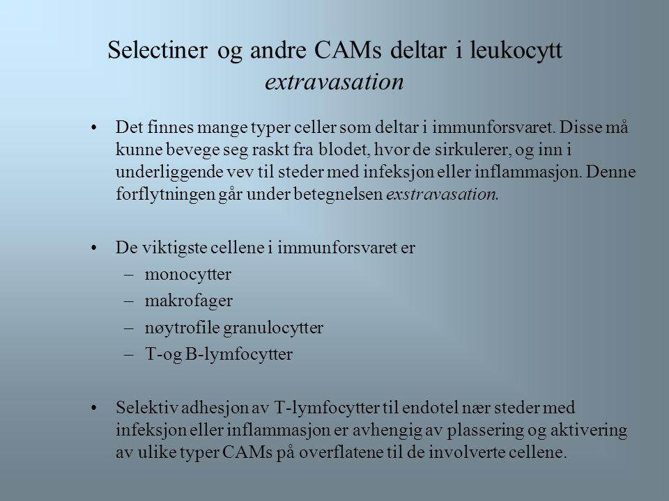 Selectiner og andre CAMs deltar i leukocytt extravasation Det finnes mange typer celler som deltar i immunforsvaret.