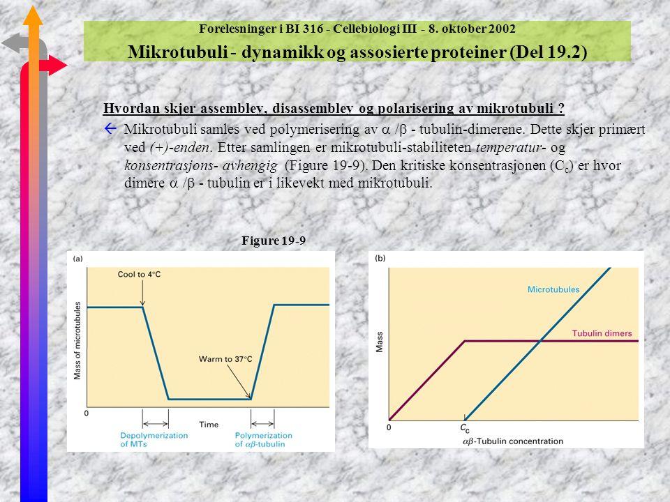 Forelesninger i BI 316 - Cellebiologi III - 8. oktober 2002 Mikrotubuli (forts.) ßMikrotubuli - organisering av oppbyggingen av mikrotubuli ßI organis