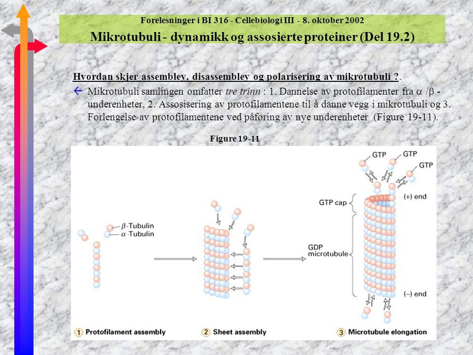 Forelesninger i BI 316 - Cellebiologi III - 8. oktober 2002 Mikrotubuli - dynamikk og assosierte proteiner (Del 19.2) Hvordan skjer assembley, disasse