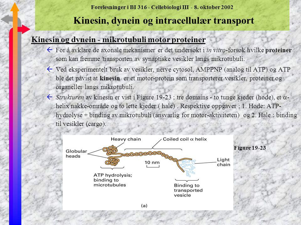 Forelesninger i BI 316 - Cellebiologi III - 8. oktober 2002 Kinesin, dynein og intracellulær transport (Del 19.3) Mikrotubuli - et spor for vesikel- o