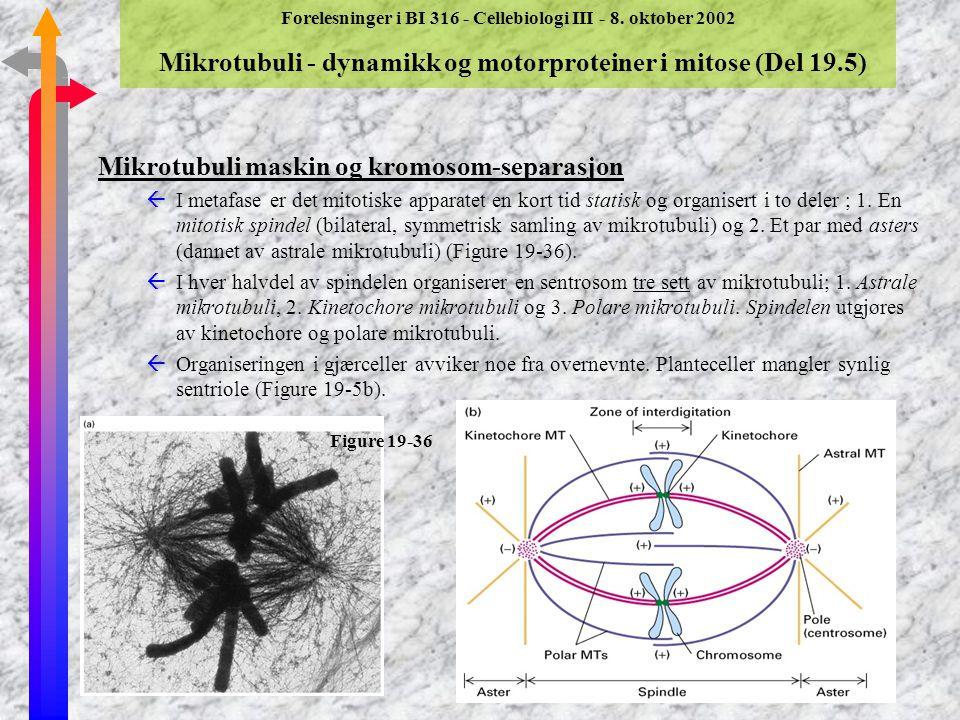 Forelesninger i BI 316 - Cellebiologi III - 8. oktober 2002 Mikrotubuli - dynamikk og motorproteiner i mitose (Del 19.5) Mikrotubuli maskin og kromoso
