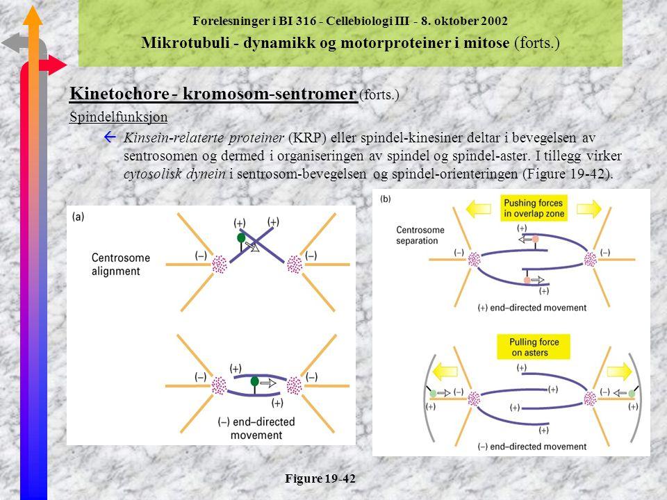 Forelesninger i BI 316 - Cellebiologi III - 8. oktober 2002 Mikrotubuli - dynamikk og motorproteiner i mitose (forts) Kinetochore - kromosom-sentromer