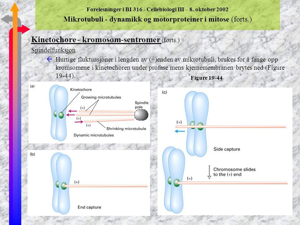 Forelesninger i BI 316 - Cellebiologi III - 8. oktober 2002 Mikrotubuli - dynamikk og motorproteiner i mitose (forts.) Kinetochore - kromosom-sentrome