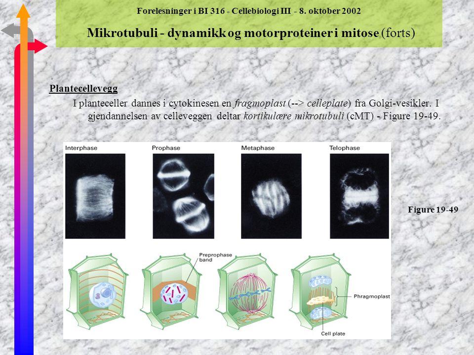 Forelesninger i BI 316 - Cellebiologi III - 8. oktober 2002 Mikrotubuli - dynamikk og motorproteiner i mitose (forts) Cytokinese ßNår kromosomene er k