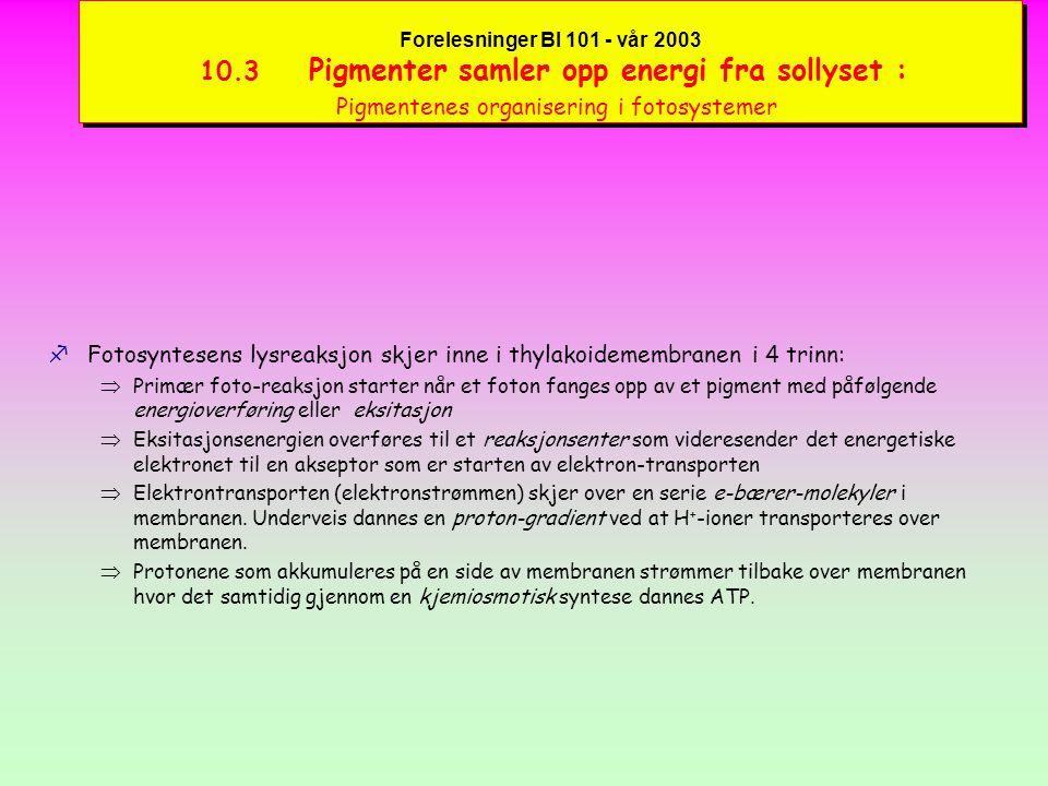 Forelesninger BI 101 - vår 2003 10.3 Pigmenter samler opp energi fra sollyset : Klorofyller og karotenoider fKlorofyll a er hovedpigmentet - klorofyll b og karotenoider er aksessoriske eller hjelpepigmenter.