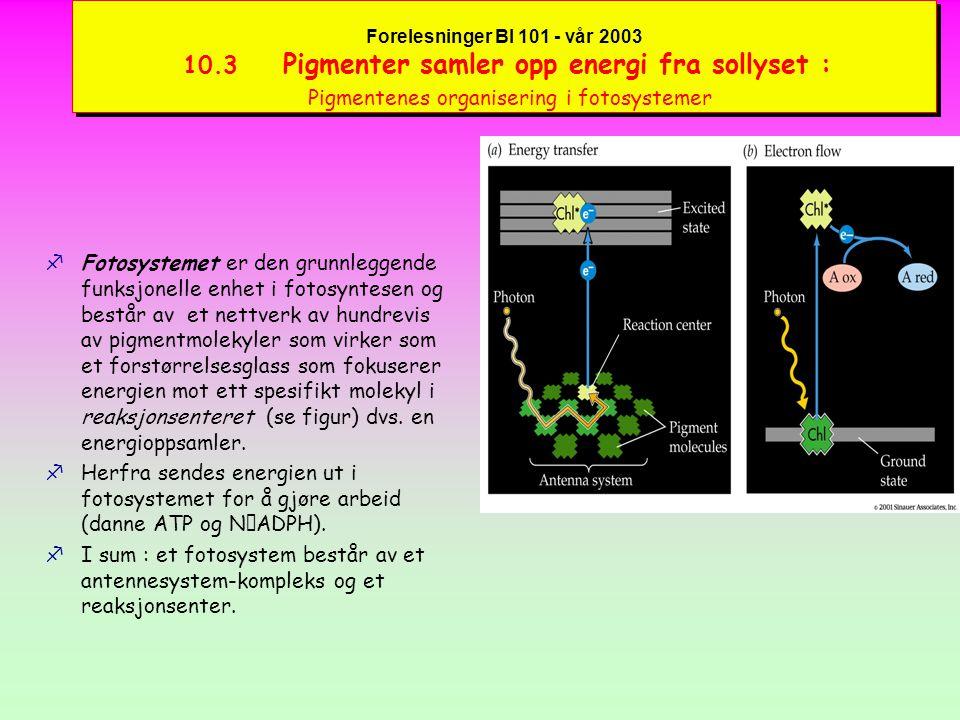 Forelesninger BI 101 - vår 2003 10.3 Pigmenter samler opp energi fra sollyset : Pigmentenes organisering i fotosystemer fFotosyntesens lysreaksjon skjer inne i thylakoidemembranen i 4 trinn:  Primær foto-reaksjon starter når et foton fanges opp av et pigment med påfølgende energioverføring eller eksitasjon  Eksitasjonsenergien overføres til et reaksjonsenter som videresender det energetiske elektronet til en akseptor som er starten av elektron-transporten  Elektrontransporten (elektronstrømmen) skjer over en serie e-bærer-molekyler i membranen.