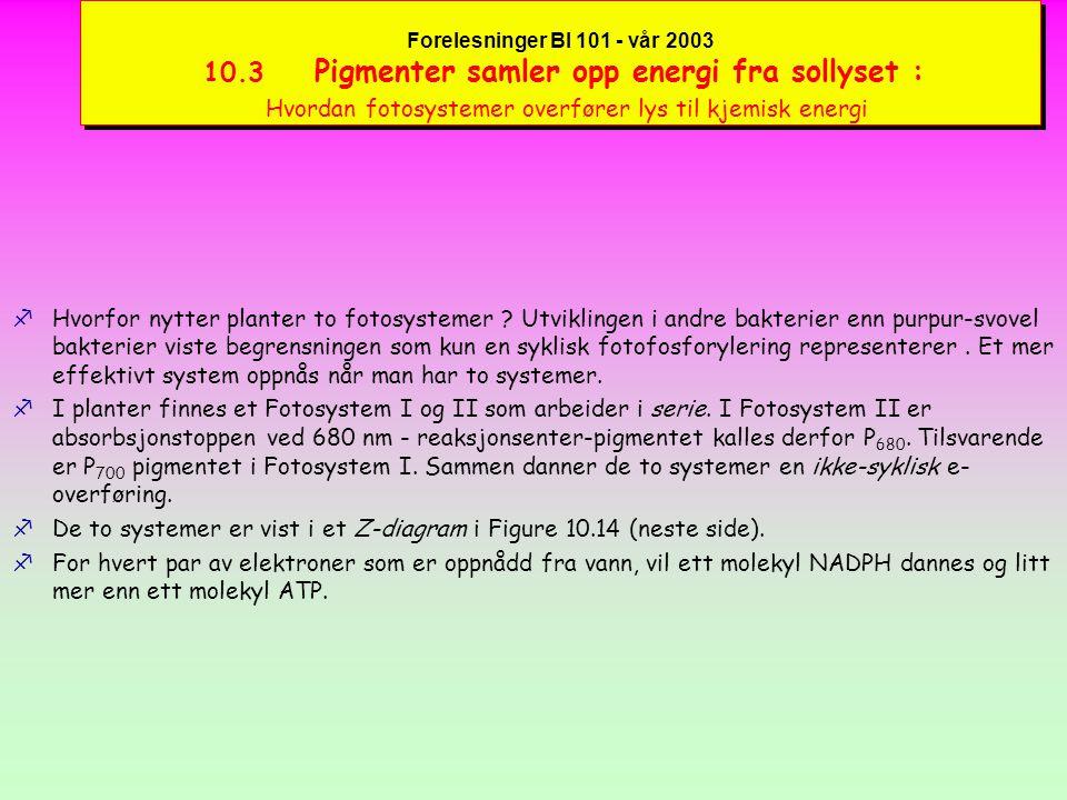 Forelesninger BI 101 - vår 2003 10.3 Pigmenter samler opp energi fra sollyset : Hvordan fotosystemer overfører lys til kjemisk energi fFotosyntetiserende bakterier (f.eks.