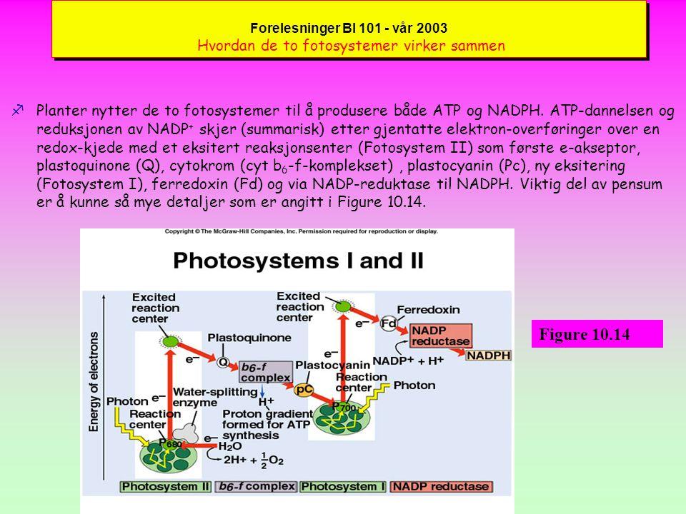 Forelesninger BI 101 - vår 2003 10.3 Pigmenter samler opp energi fra sollyset : Hvordan fotosystemer overfører lys til kjemisk energi fHvorfor nytter planter to fotosystemer .