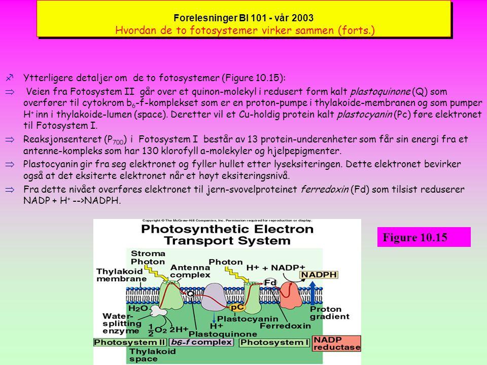 Forelesninger BI 101 - vår 2003 Hvordan de to fotosystemer virker sammen fMer detaljer om de to fotosystemer følger her (Figure 10.15):  Fotosystem II består av 10 transmembran-proteiner og et antenne-kompleks som har 250 klorofyll a-molekyler og hjelpepigmenter bundet i flere proteinkjeder.